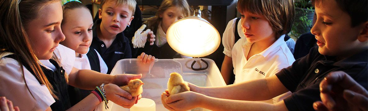 Chicks hatched in the Lower School, where learning comes to life.